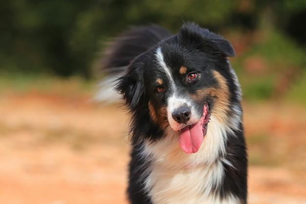 Portret van een australische herder