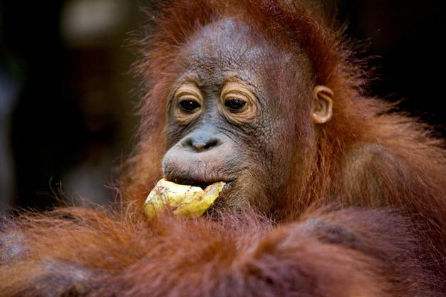 Portret van een baby orang-oetan. detailopname. indonesië. het eiland kalimantan (borneo).