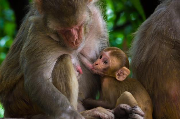 Portret van een baby resus makaak aap die moedermelk drinkt