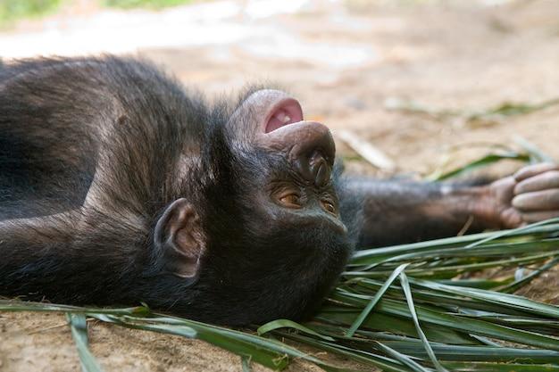 Portret van een babybonobo. democratische republiek van congo. nationaal park lola ya bonobo.