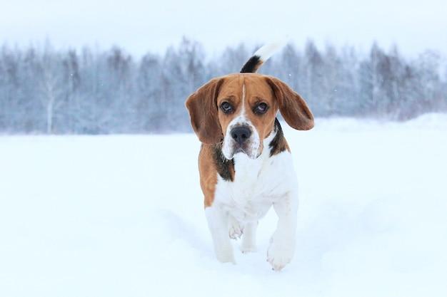 Portret van een beagle hond in de winter close-up, staande op een weide opzij kijken