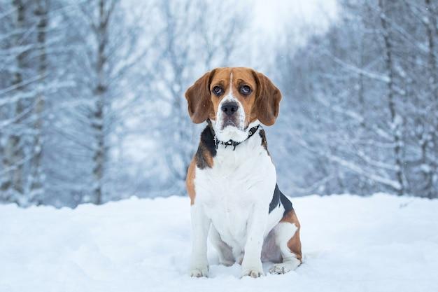 Portret van een beagle-hond in de winter close-up
