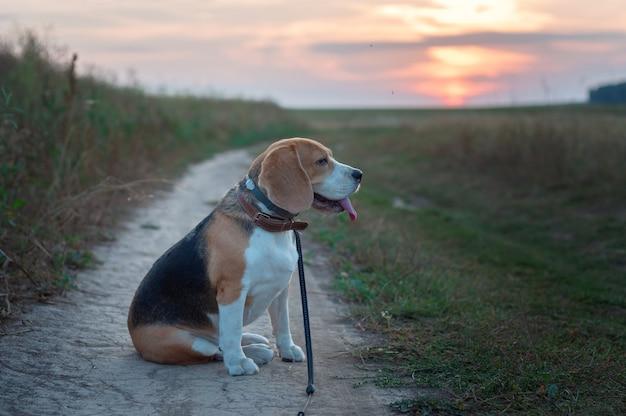 Portret van een beagle hond op de achtergrond van een prachtige avondrood in de zomer na de regen tijdens het wandelen in de natuur
