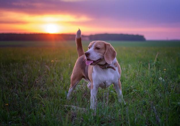Portret van een beagle-hond op een mooie zonsonderganghemel en zonlicht tijdens een wandeling in het voorjaar. natuurlijk landschap