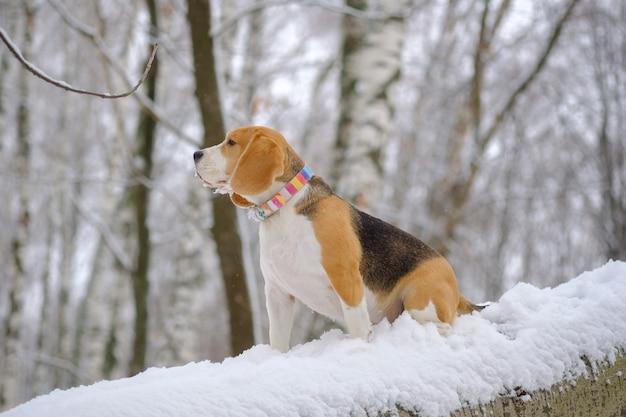 Portret van een beagle-hond op een wandeling in het winterpark na een zware sneeuwval