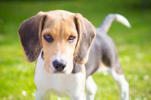 Portret van een beagle puppy hondje