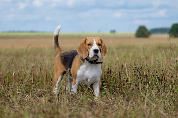 Portret van een beagle tijdens een wandeling in de zomer op de gemaaide weide