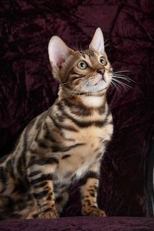 Portret van een bengaalse rasechte kat