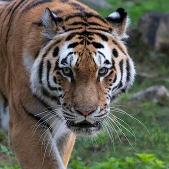 Portret van een bengaalse tijger. detailopname.