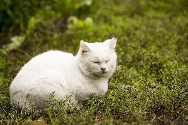 Portret van een binnenlandse kat van witte kleur met grote ogen. witte kat met een roze neus. wit russisch kattenras.
