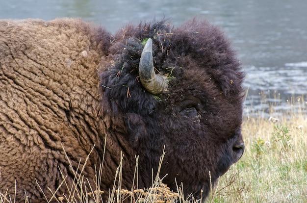 Portret van een bizon die dichtbij madison river in het nationale park van yellowstone bepaalt
