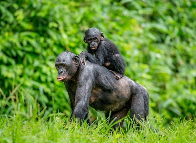 Portret van een bonobo in de natuur