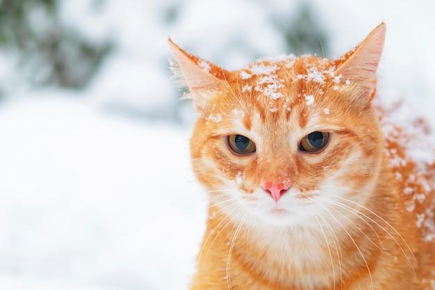 Portret van een boze rode, gemberkat in de sneeuw, tegen de achtergrond van een de winterbos. verdrietig huisdier buiten, in de sneeuw. kopieer de ruimte.