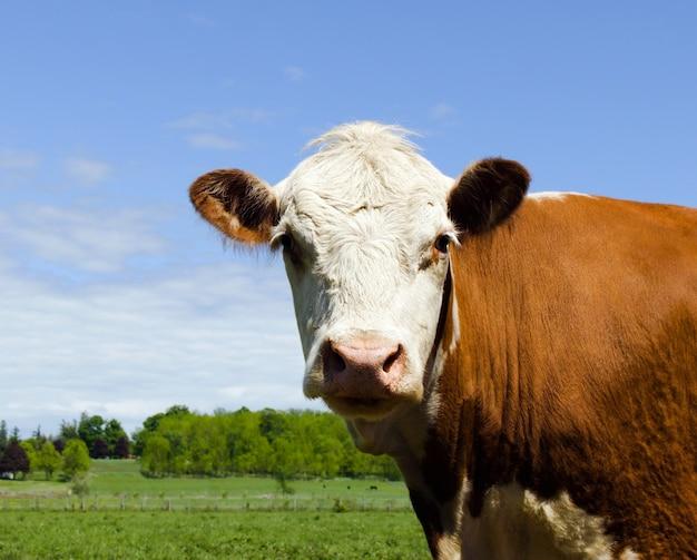 Portret van een bruine koe die de camera met een duidelijke blauwe hemel bekijkt