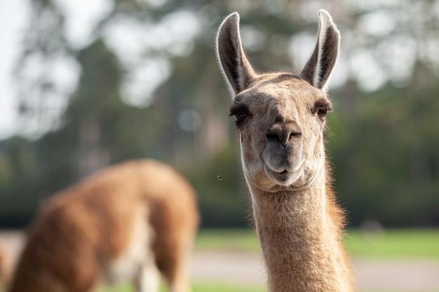 Portret van een bruine lama met een zeer lange nek