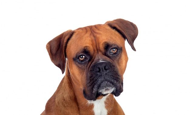 Portret van een bruine volwassen bokser die camera bekijkt