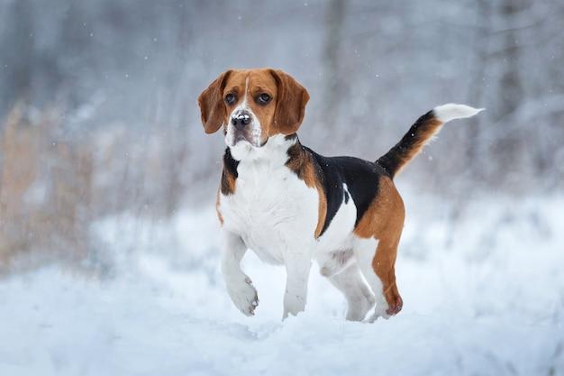 Portret van een charismatische beagle hond in de winter close-up, staande op een weiland opzij kijken