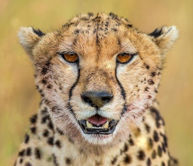 Portret van een cheetah.