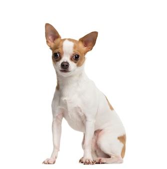 Portret van een chihuahua-hondzitting voor een witte achtergrond