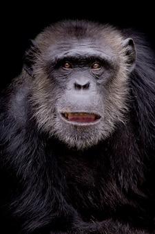 Portret van een chimpansee die zorgvuldig op een zwarte achtergrond staart