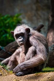Portret van een chimpansee