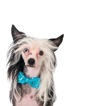 Portret van een chinese crested dog met een blauwe vlinderdas.