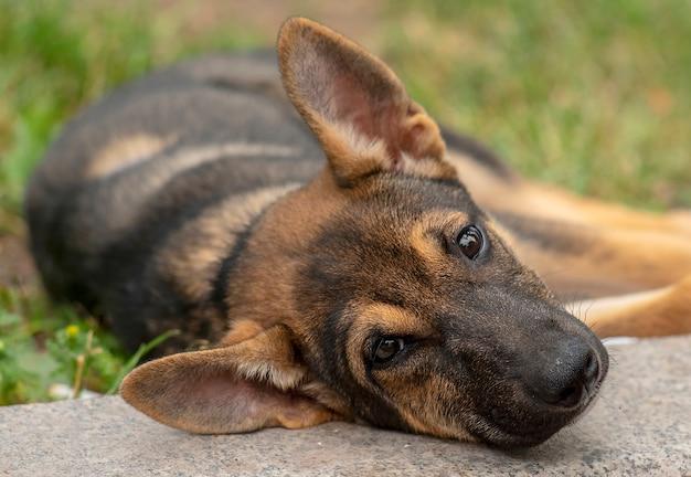 Portret van een dakloze puppyhond die op het gras ligt