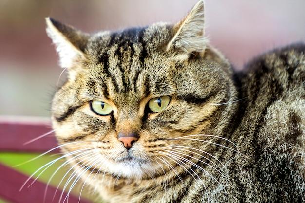 Portret van een dikke gestreepte kat met groene ogen