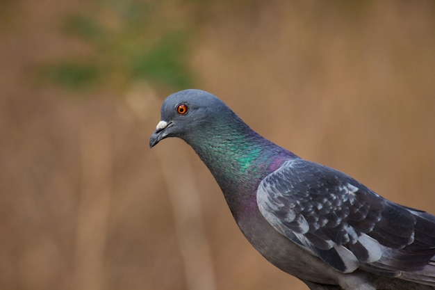 Portret van een duif