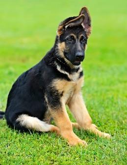 Portret van een duitse herder bij de hond
