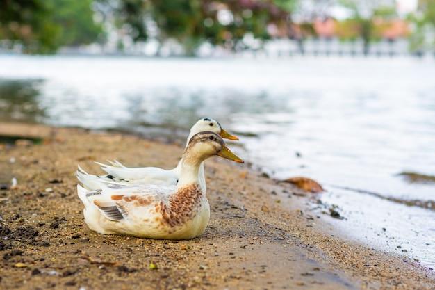 Portret van een eend die bij het meer rust.