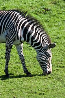 Portret van een etende zebra in een natuurreservaat, namibië