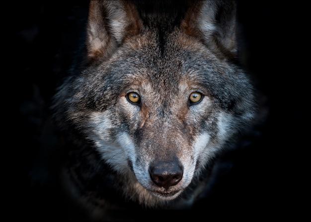 Portret van een europese grijze wolf op donkere achtergrond close-up