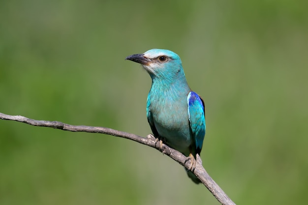 Portret van een europese rolvogel op een tak close-up