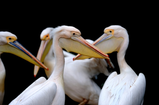 Portret van een europese witte pelikaan