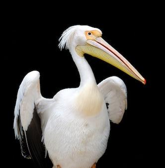 Portret van een europese witte pelikaan Premium Foto