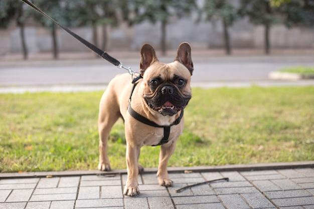 Portret van een franse bulldog