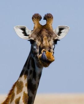 Portret van een giraf.