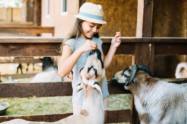 Portret van een glimlachend meisjes voedend voedsel aan schapen in het landbouwbedrijf