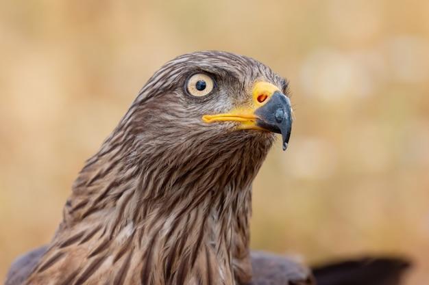 Portret van een gouden adelaar