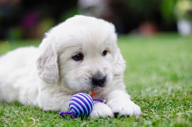 Portret van een gouden retriever twee maandenpuppy met een kleurenstuk speelgoed op het gras