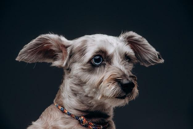 Portret van een grappige grijze hond met veelkleurige ogen