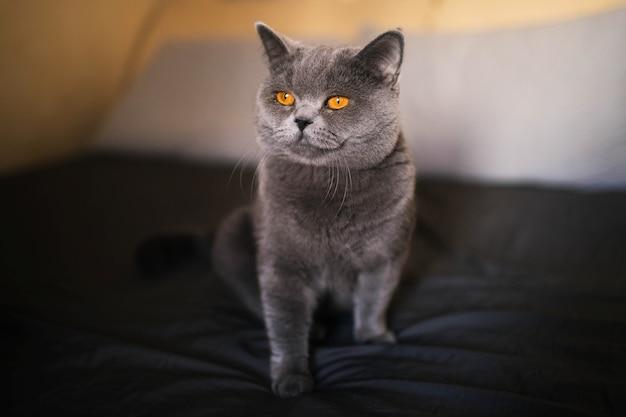 Portret van een grijze britse kat op het bed