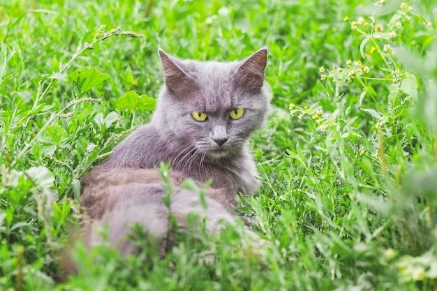 Portret van een grijze kat met een strenge blik. kat zit in het gras