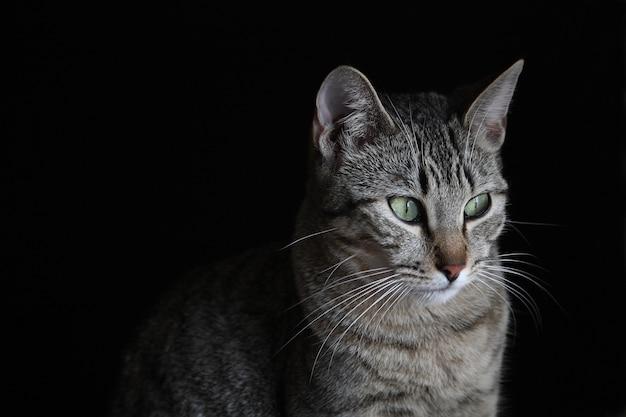 Portret van een grijze kat met groene ogen