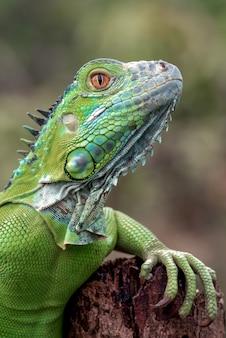 Portret van een groene leguaan in heldere kleuren
