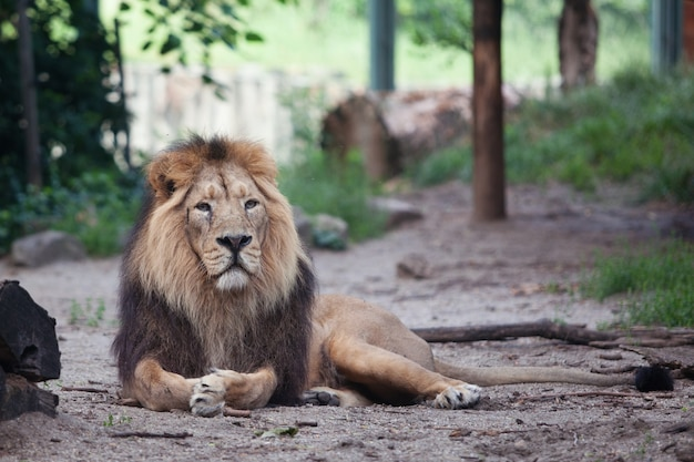 Portret van een grote mooie leeuw