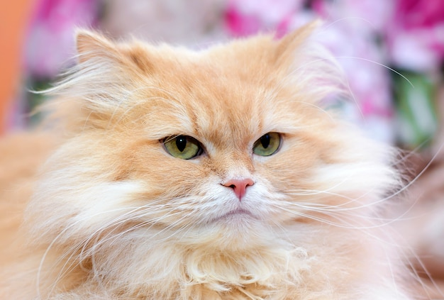 Portret van een grote pluizige mooie schattige rode binnenlandse kat close-up