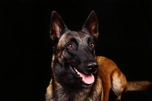 Portret van een herdershond op een zwarte achtergrond in studio