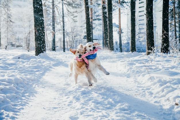 Portret van een hond buiten in de winter. twee jonge golden retriever spelen in de sneeuw in het park. sleepboot speelgoed
